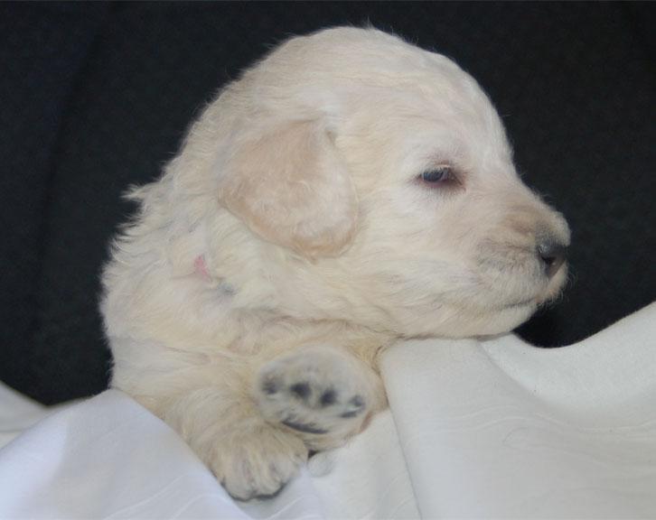 Surry – Adopted – Cream
