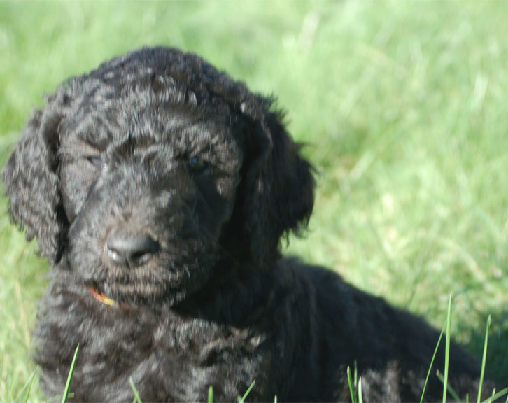 Black F1B Goldendoodle Puppy - Portland Oregon
